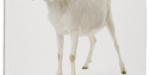 Teatowel - Goat - White