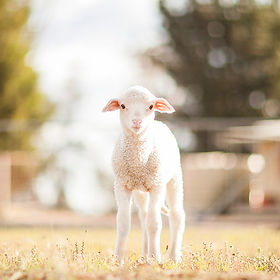 Sponsor a Sheep at Little Oak Farm Animal Sanctuary