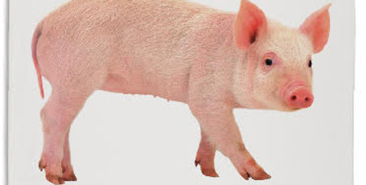Teatowel - Pig - White