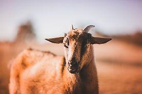 Goats-August17-12b.jpg