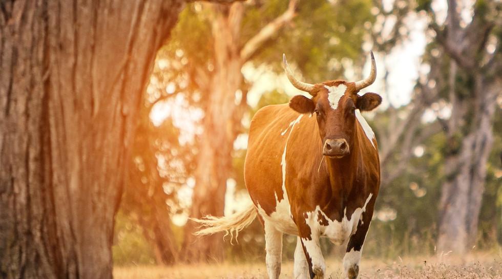 Rescue Dairy Cows