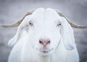 Sponsor a Goat at Little Oak Farm Animal Sanctuary