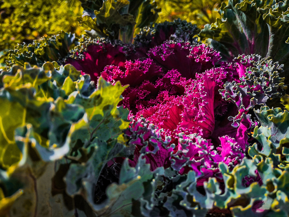 Close up of rich colourful kale
