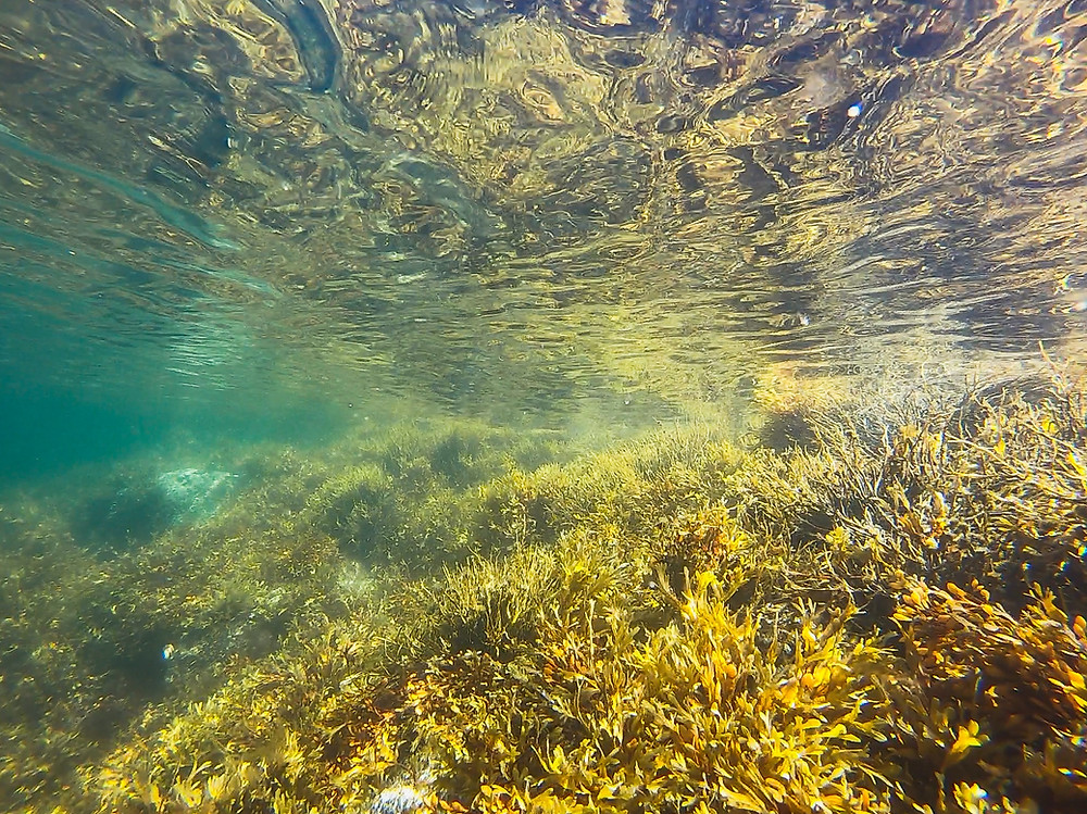 Underwater view of sea kelp, a type of seaweed