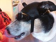 כלב עם משקפיים
