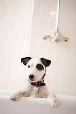 כלב דוגמן