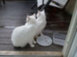 זוג חתולים