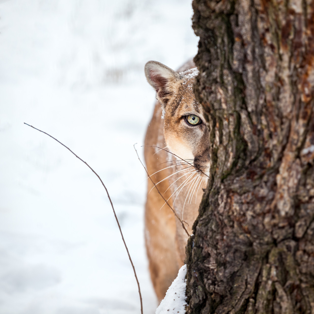 Portrait of a cougar, mountain lion, puma, striking pose, Winter scene in the woods