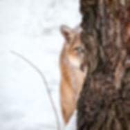 los pumas salvajes en la patagornia