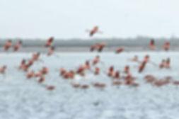 flamencos rosados en laguna