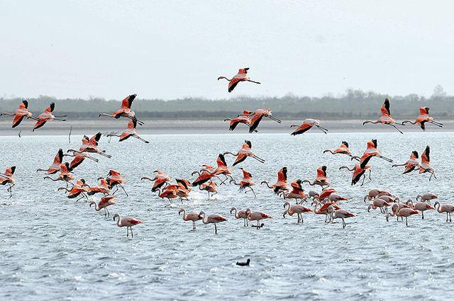 Flamencos rosados en la laguna