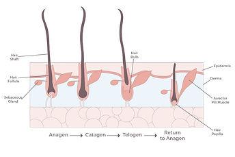 hair growth cycle.jpg