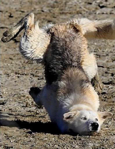 falling dog.png