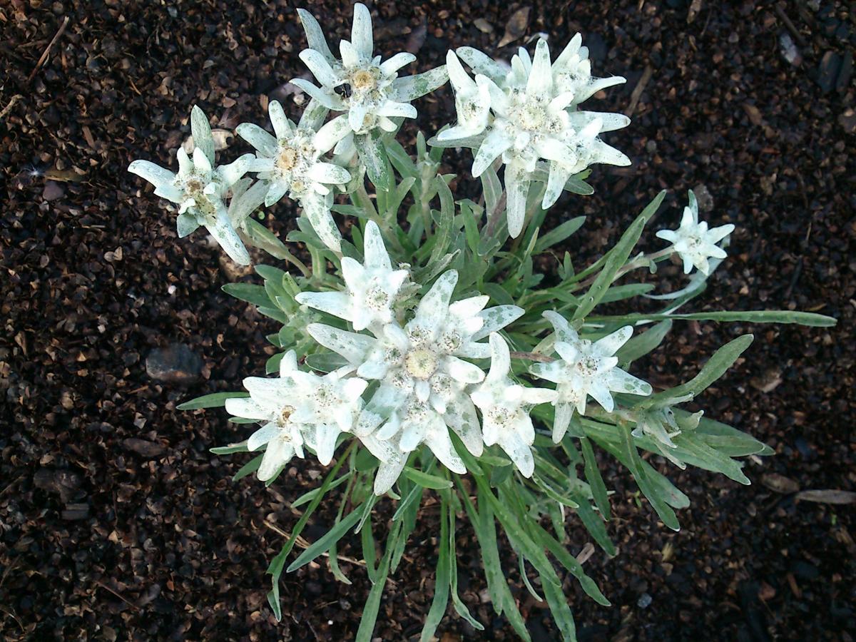 leontopodium alpinum ( edelweiss)