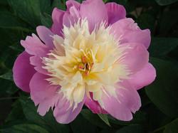 pivoine 'Bowl of beauty'