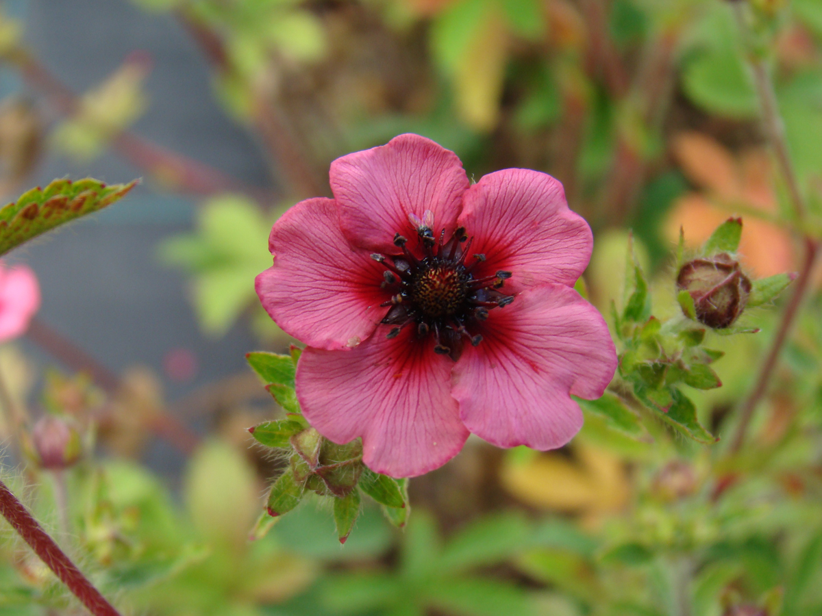 potentilla nepalen miss willmott