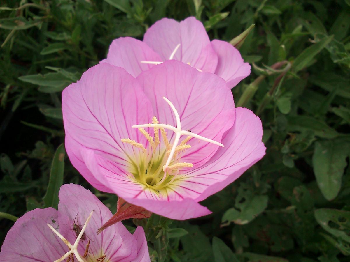 oenothera siskyou pink