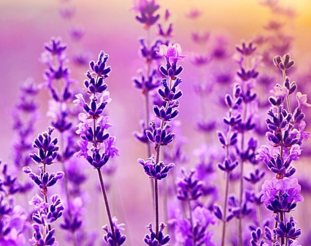 ns-lavender-featured-image-1530x500