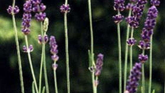Lavendel - Lavendula augustifolia 100gr