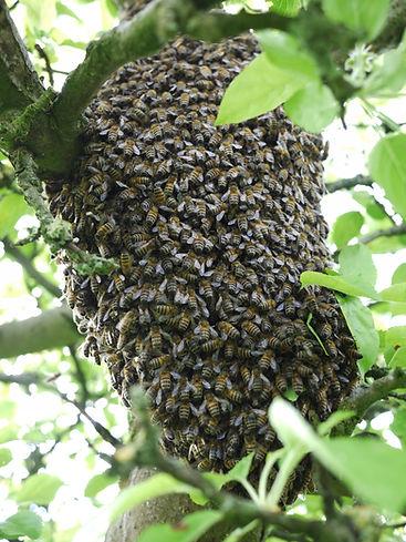 waarom-zwermen-bijen-203430.jpg