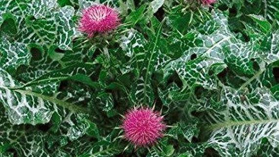 Mariadistel - Sylibum marianum 100gr