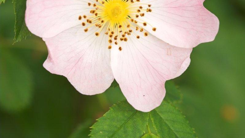 Rozenbottel - Rosa canina fructus 100gr