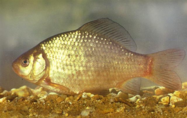 crucian carp (pale gold goldfish)