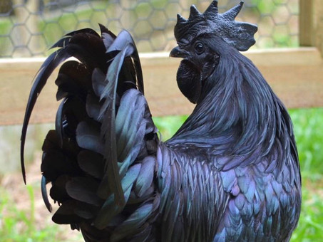 Ayam Cemani, the black-hearted chicken