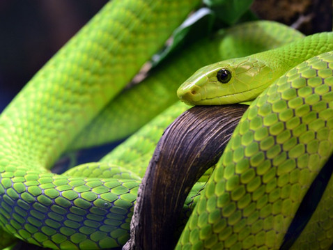 Does Australia really have the deadliest snakes in the world?