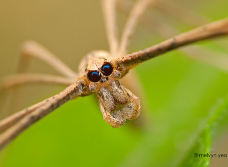 This spider's retinas burn out every morning and regrow every night