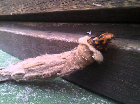 Case Moths Build Themselves Blanket Forts and Then Never Leave
