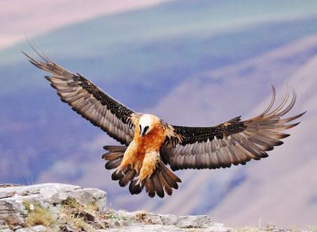 The bearded vulture's diet is bones, just bones