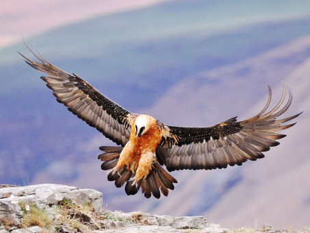 The bearded vulture's diet is bones, just bones