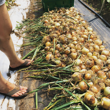 Curing onions