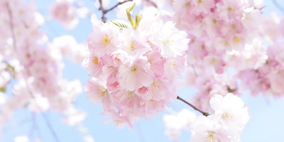 Sakura blossom - 980 x 490.png