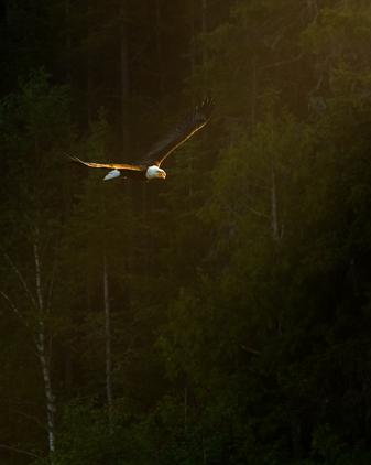 Oiseau_pygargue_2_2020.png