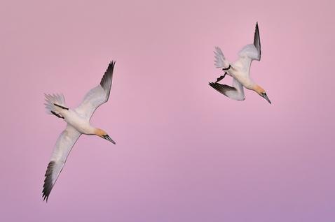 Oiseau_fou_4_2020.png