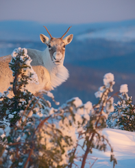Caribou_hiver_4_2019.png