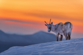 Caribou_hiver_4_2021.png