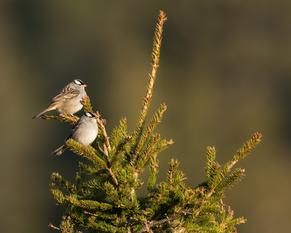 Oiseau_bruantcouronne_1_2021.png