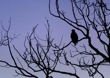 Oiseau_pygargue_15_2020.png