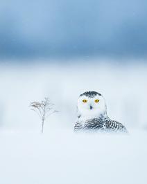 Oiseau_harfang_8_2021.png