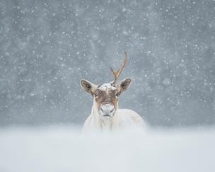 Caribou_hiver_5_2020.png