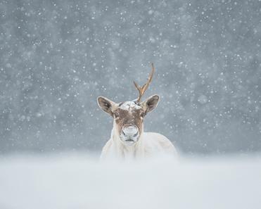 Caribou_hiver_5_2020.png