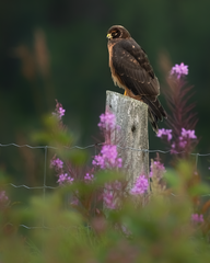 Oiseau_busard_1_2020.png