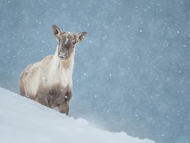 Journée glaciale avec les caribous