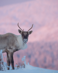 Caribou_hiver_3_2019.png