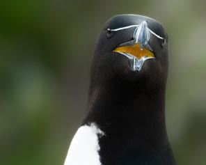 Oiseau_pingouin_5_2021.png