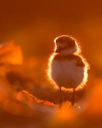 Oiseau_kildir_1_2021.png