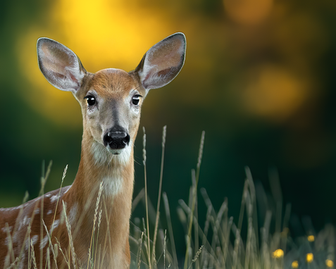 Cerf_5_2020.png